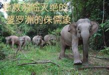婆罗洲侏儒象